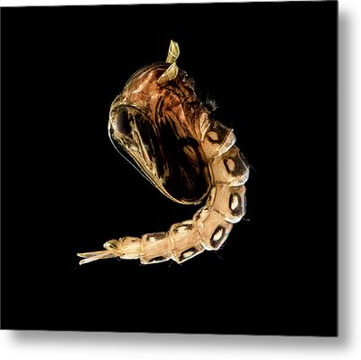 Mosquito Emerging From Pupa Metal Print by Us Geological Survey