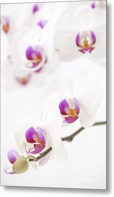 Moth Orchid Metal Print by Anne Gilbert