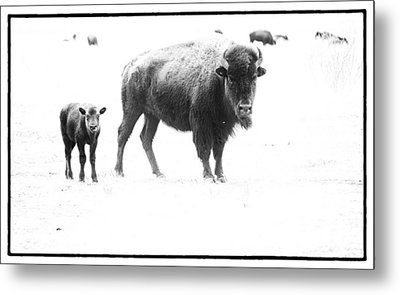 Mother Bison And Her Calf Metal Print by Melany Sarafis