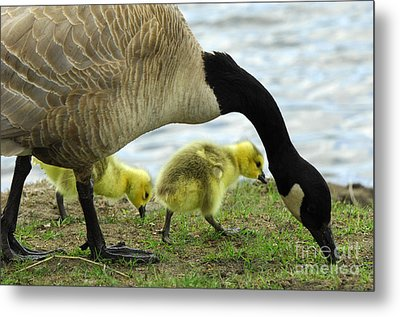Mother Goose Metal Print by Bob Christopher