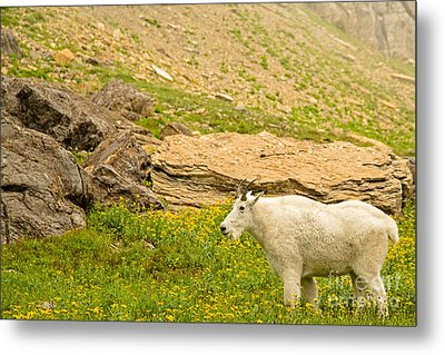 Mountain Goat In The Mountains Metal Print by Natural Focal Point Photography