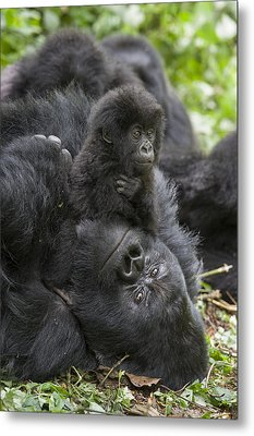Mountain Gorilla Baby Playing Metal Print by Suzi  Eszterhas