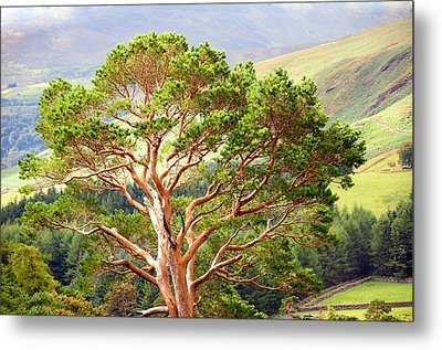 Mountain Pine Tree In Wicklow. Ireland Metal Print by Jenny Rainbow