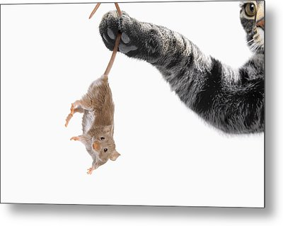 Mouse Dangling From Grey Tabby Cats Metal Print by Thomas Kitchin & Victoria Hurst