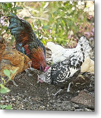 Mr. Rooster And All The Chickens Scratching For A Snack Metal Print by Artist and Photographer Laura Wrede