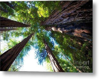 Muir Woods Redwood Trees 6 Metal Print by Mel Ashar