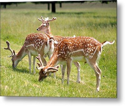 Multitasking Deer In Richmond Park Metal Print by Rona Black