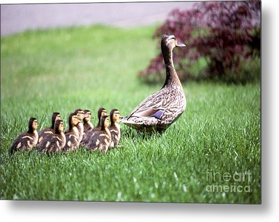 Mumma Duck And Kids Metal Print by King Wu