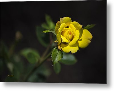 Mystic Yellow Rose Metal Print by Christina Rollo