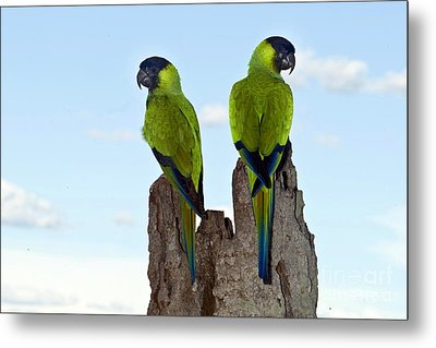 Nanday Conures Metal Print by Anita Studer
