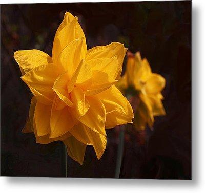 Narcissus Sweet Sue In Full Bloom Metal Print by Rona Black