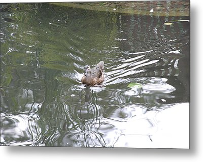 National Zoo - Duck - 121211 Metal Print by DC Photographer