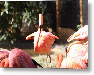 National Zoo - Flamingo - 01133 Metal Print by DC Photographer