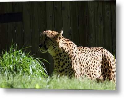 National Zoo - Leopard - 011319 Metal Print by DC Photographer