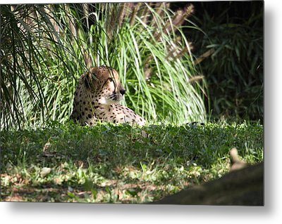 National Zoo - Leopard - 01133 Metal Print by DC Photographer