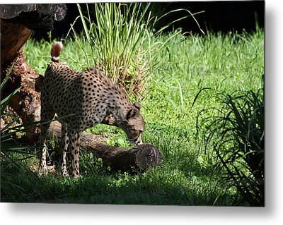 National Zoo - Leopard - 01136 Metal Print by DC Photographer