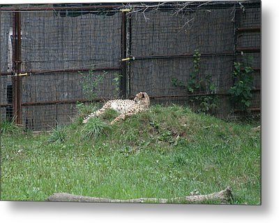 National Zoo - Leopard - 12123 Metal Print by DC Photographer