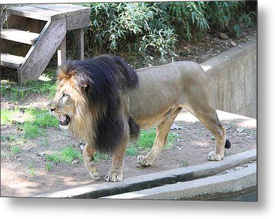 National Zoo - Lion - 011311 Metal Print by DC Photographer