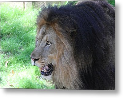 National Zoo - Lion - 011312 Metal Print by DC Photographer