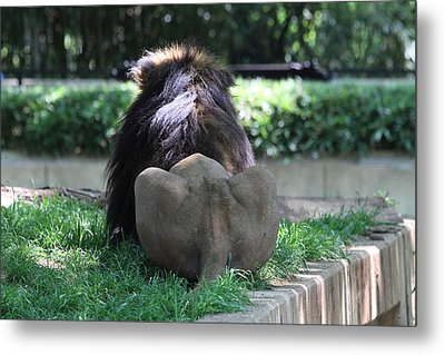 National Zoo - Lion - 011314 Metal Print by DC Photographer