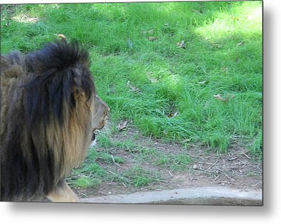 National Zoo - Lion - 01134 Metal Print by DC Photographer