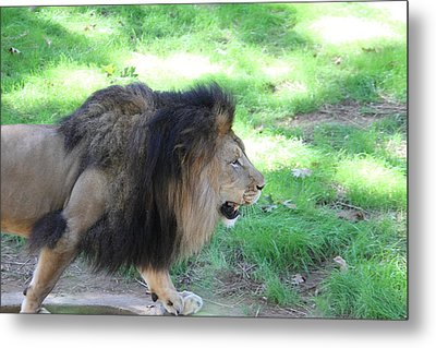 National Zoo - Lion - 01135 Metal Print by DC Photographer