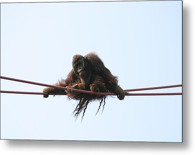 National Zoo - Orangutan - 121217 Metal Print by DC Photographer