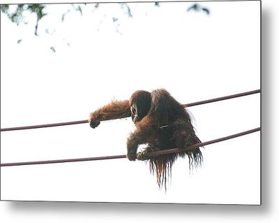National Zoo - Orangutan - 121219 Metal Print by DC Photographer
