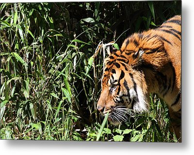 National Zoo - Tiger - 011311 Metal Print by DC Photographer
