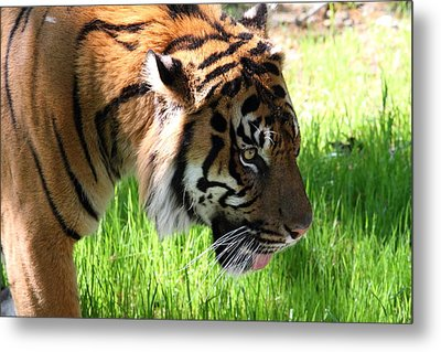 National Zoo - Tiger - 011321 Metal Print by DC Photographer