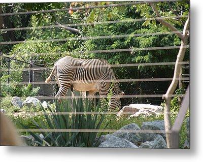 National Zoo - Zebra - 12121 Metal Print by DC Photographer