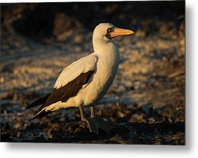 Nazca Booby (sula Granti Metal Print by Pete Oxford