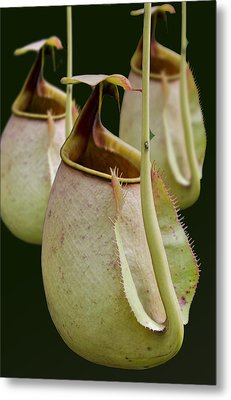 Nepenthes Metal Print by Roger Leege