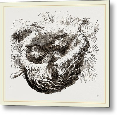 Nest Of Golden Oriole Metal Print by Litz Collection