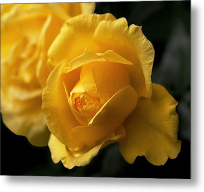 New Yellow Rose Metal Print by Rona Black