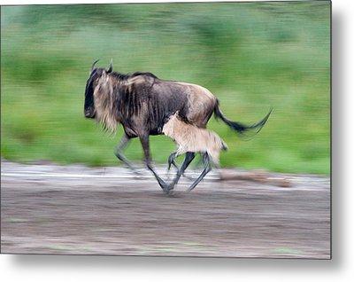 Newborn Wildebeest Calf Running Metal Print by Panoramic Images