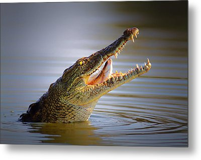 Nile Crocodile Swollowing Fish Metal Print by Johan Swanepoel