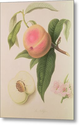 Noblesse Peach Metal Print by William Hooker
