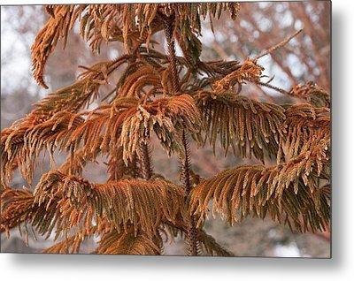 Norfolk Island Pine (a. Heterophylla) Metal Print by Dr. Nick Kurzenko
