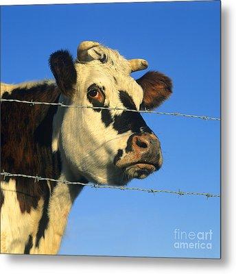 Normand Cow Metal Print by Bernard Jaubert