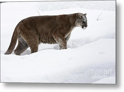 Northern Depths Cougar In The Winter Snow Metal Print by Inspired Nature Photography Fine Art Photography