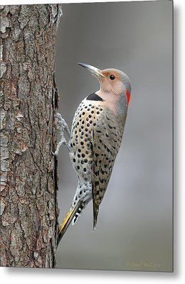 Northern Flicker Metal Print by Daniel Behm