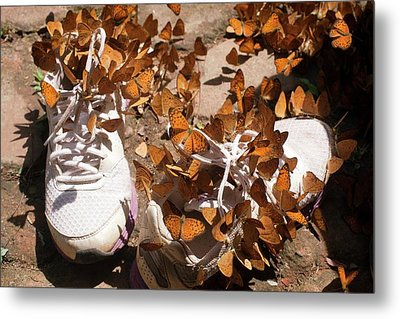 Nymphalid Butterflies Salt Puddle Feeding Metal Print by Paul D Stewart