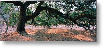 Oak Tree On A Field, Sonoma County Metal Print by Panoramic Images
