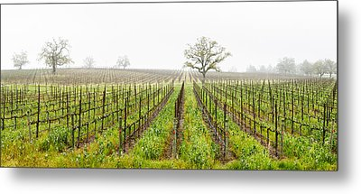 Oak Trees In A Vineyard, Guerneville Metal Print by Panoramic Images