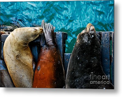 Odd Man Out California Sea Lions Metal Print by Terry Garvin
