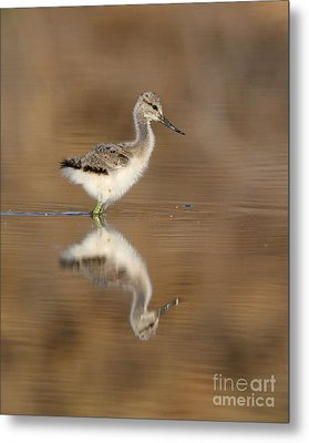 Oh So Sweet Avocet Chick Metal Print by Ruth Jolly