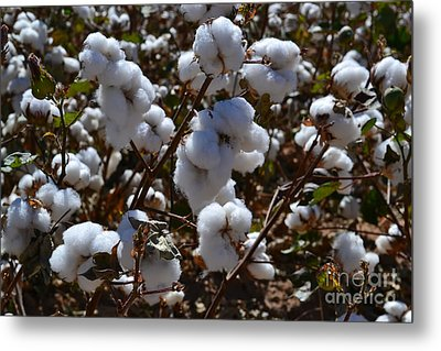 Old Cotton Fields Back Home Metal Print by Beverly Guilliams