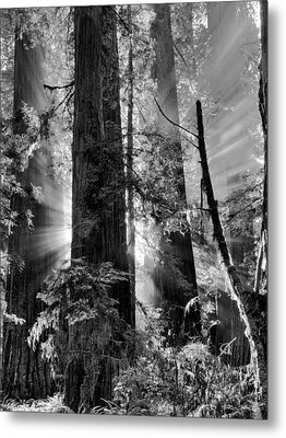 Old Growth Forest Light Black And White Metal Print by Leland D Howard