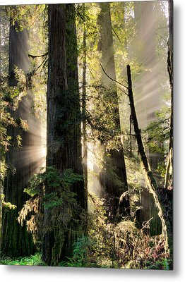 Old Growth Forest Light Metal Print by Leland D Howard